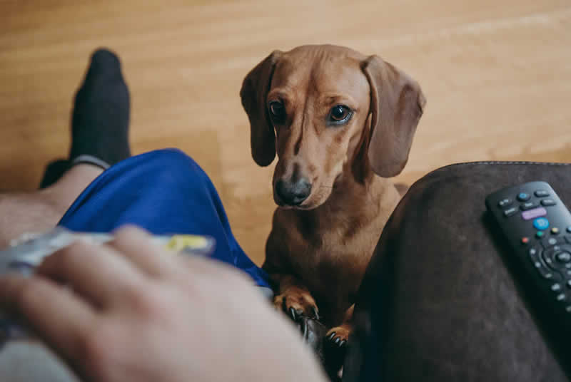 daschund begging for food while owner watches TV