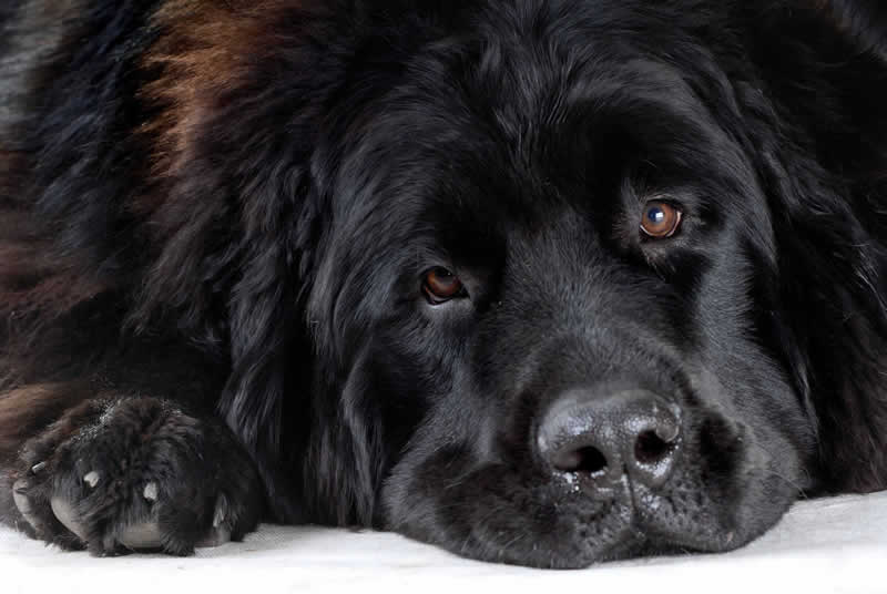 Black overweight newfoundland dog