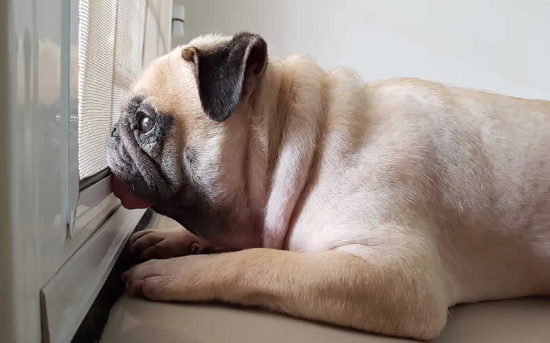 pug alone at home