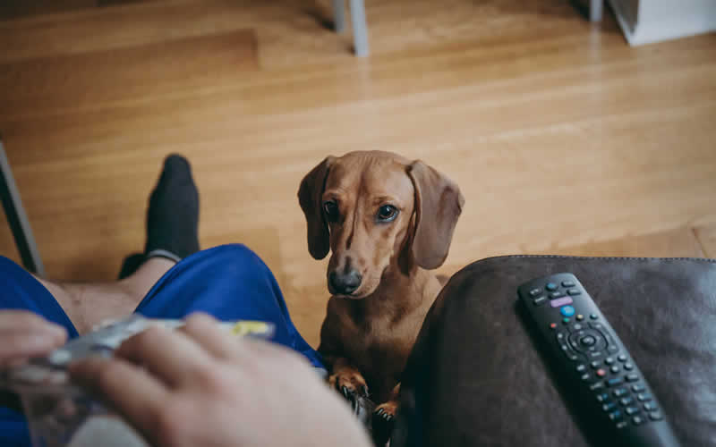 daschund waiting for treats from owner